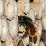 Gehörnte Mauerbiene (Osmia cornuta), Einbringen der Pollen