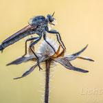 #015 - Barbarossafliege (Eutolmus rufibarbis) ♂
