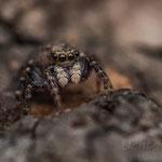 # 052 - Haus-Keilspringer (Pseudoeuophrys lanigera), ♀