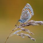 #024 - Hauhechel-Bläuling (Polyommatus icarus)