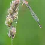 #00? - Große Pechlibelle (Ischnura elegans), weiblich