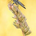 #013 - Schlichte Raubfliege (Machimus rusticus) ♀