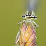 #001 - Blaue Federlibelle (Platycnemis pennipes), weiblich