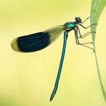 #020 - Gebänderte Prachtlibelle (Calopteryx splendens), männlich