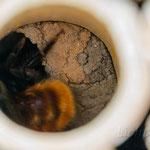 Gehörnte Mauerbiene (Osmia cornuta) in Niströhre