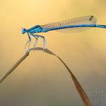 #033 - Blaue Federlibelle (Platycnemis pennipes) ♂