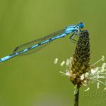 #012 - Gemeine Becherjungfer (Enallagma cyathigerum), männlich