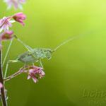 #002 - Punktierte Zartschrecke (Leptophyes punctatissima)