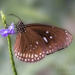 #003 - Gemeine Krähe (Euploea core)
