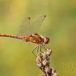 #003 - Große Heidelibelle (Sympetrum striolatum), männlich