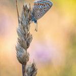 #022 - Hauhechel-Bläuling (Polyommatus icarus)  ♀