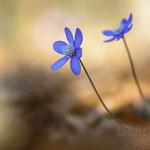 #023 - Leberblümchen (Hepatica nobilis)