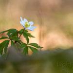 #043 - Buschwindröschen (Anemone nemorosa)