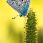 #008 - Hauhechel-Bläuling (Polyommatus icarus)