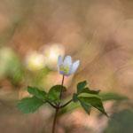 #002 - Buschwindröschen (Anemone nemorosa)