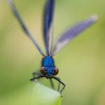 #025 - Gebänderte Prachtlibelle (Calopteryx splendens), männlich