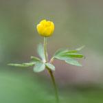 #014 - Buschwindröschen (Anemone nemorosa)