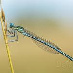 # 045 - Blaue Federlibelle (Platycnemis pennipes) ♂