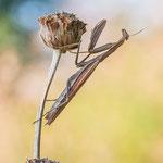 #008 - Europäische Gottesanbeterin (Mantis religiosa)  ♀