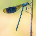 #046 - Gebänderte Prachtlibelle (Calopteryx splendens) ♂
