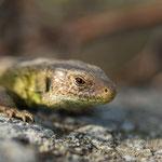 #008 - Zauneidechse (Lacerta agilis), männlich