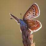 #025 - Hauhechel-Bläuling (Polyommatus icarus)  ♀