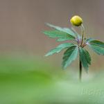 #017 - Buschwindröschen (Anemone nemorosa)