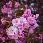 #020 - Japanische Kirsche Jardin des Plantes, Paris