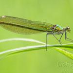 #036 - Gebänderte Prachtlibelle (Calopteryx splendens) ♀