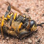 #006 - Bienenwolf (Philanthus triangulum) mit Honigbiene (Apis mellifera)