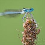 #052 - Blaue Federlibelle (Platycnemis pennipes) ♂