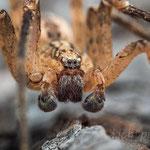 # 017 - Kräuseljagdspinne (Zoropsis spinimana), ♂