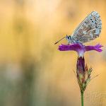 #019 - Silbergrüner Bläuling (Polyommatus coridon)