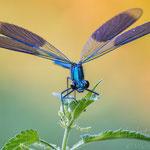 #048 - Gebänderte Prachtlibelle (Calopteryx splendens) ♂