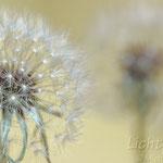 # 052 - Pusteblume - Herbst-Löwenzahn (Scorzoneroides autumnalis)