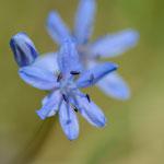 #037 - Zweiblättriger Blaustern / Sternhyazinthe (Scilla bifolia)