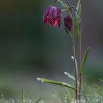 # 054 - Schachbrettblume (Fritillaria meleagris)