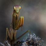 #011 - Europäische Gottesanbeterin (Mantis religiosa)  ♀