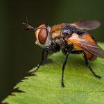 #020 - Raupenfliege (Gymnosoma sp.)