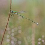 #018 - Kleine Binsenjungfer (Lestes virens), männlich
