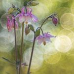 # 059 - Akelei (Aquilegia vulgaris)