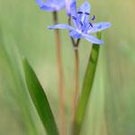 #035 - Zweiblättriger Blaustern / Sternhyazinthe (Scilla bifolia)