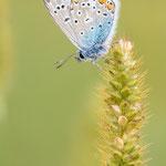 #012 - Hauhechel-Bläuling (Polyommatus icarus)