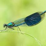 #035 - Gebänderte Prachtlibelle (Calopteryx splendens) ♂