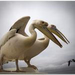Les 2 pélicans - Namibie