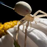 Araignée crabe femelle