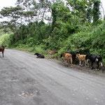 An entspanntes Autofahren ist in Costa Rica nicht zu denken! Zu den Schlaglöchern gesellt sich auch immer wieder irgendwelches Viehzeug!