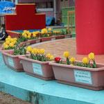 宮古市赤前保育所で開花したチューリップたち