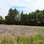 南相馬の休耕田にまいた花いっぱいミックスは地元でも大評判に