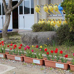 5月に訪問した仮設住宅では昨年の秋お届けしたチューリップがきれいに咲いていました。